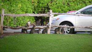 Feral cats on the Big Island of Hawaii